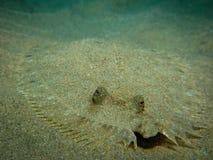 Flounder кладя на песок Стоковое Изображение RF