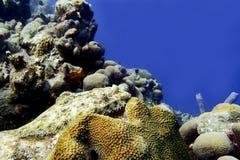 Flounder на коралловом рифе Стоковое фото RF