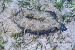 Flounder павлина стоковые изображения rf
