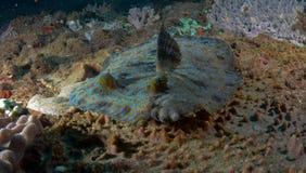 Flounder павлина Стоковая Фотография RF