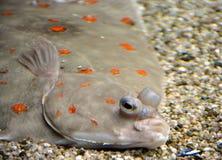 flounder 1 piasku Obraz Stock