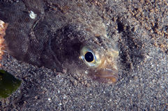 Flounder Stock Images