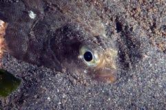 flounder Стоковые Изображения