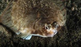 Flounder Стоковое Изображение