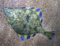 Flounder. Fish resting on sand Stock Photography