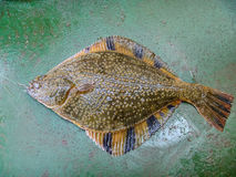 Flounder on the deck. Fishing on the boat. Bottom fish Royalty Free Stock Photo