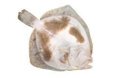 Flounder fish Stock Photos