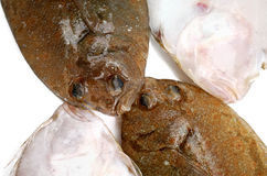 Flounder fishes Stock Images