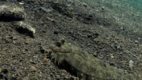 Flounder flatfish hiding on the seabed. Amazing, beautiful underwater world Bali Indonesia and  life of its inhabitants, creatures and diving, travels with stock footage