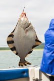 Flounder on hook. Bottom sea fishing in the Pacific near Kamchatka. Royalty Free Stock Images