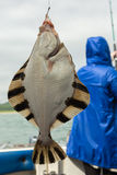 Flounder on hook. Bottom sea fishing in the Pacific near Kamchatka. Royalty Free Stock Photo