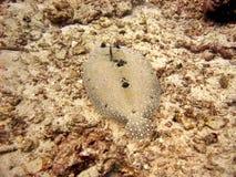 flounder kwiaciasta Obrazy Stock