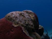 Flounder Royalty Free Stock Photo