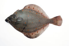 Flounder Plaice Stock Photo