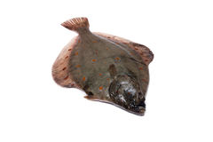 Flounder Plaice Stock Images