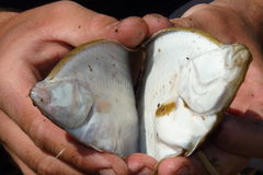 Flounder Platichthys flesus Stock Photography