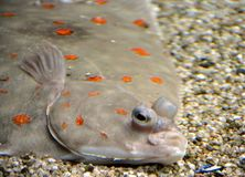 Flounder on the Sand 1 Stock Image