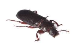 Flour beetle (Tribolium destructor) Royalty Free Stock Photography
