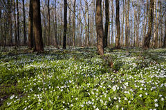 Flourish Anemone Forest. Green flourish Anemone Forest at spring time Stock Photography