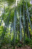 The flourish bamboo forest, Adgara, Georgia.  Royalty Free Stock Photo