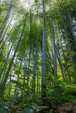 The flourish bamboo forest, Adgara, Georgia.  royalty free stock images