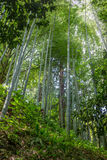 The flourish bamboo forest, Adgara, Georgia.  Royalty Free Stock Photos