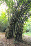 The flourish bamboo forest. With glorious morning sunshine Royalty Free Stock Photography