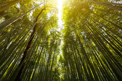 The flourish bamboo forest with glorious morning sunshine Royalty Free Stock Photos