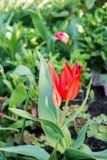 Flourish de tulipe dans le jardin Images stock