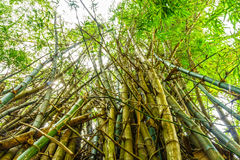 The flourish green Asian bamboo forest with sunlight Royalty Free Stock Images