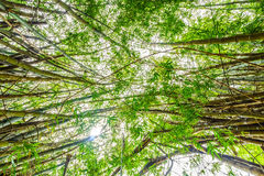 The flourish green Asian bamboo forest with sunlight Stock Photo