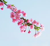 Flourish Pink Chinese Flowering Crab Apple Flowers Stock Photo