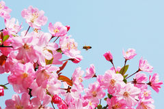Flourish pink Chinese flowering crab apple flowers. In the sunny blue sky with a bee flying royalty free stock photography