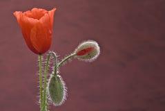 The flourish of a poppy. Stock Photography