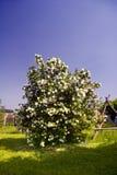 Guelder rose. Flourish snowball shrub on garden meadow in spring time stock photos