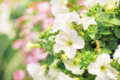 Flourish white flowers in the summer garden Stock Image