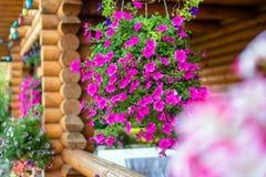 Flourishes de première partie de soirée de variétés de pétunia Photographie stock libre de droits