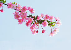 FlourishHolzapfelblumen Lizenzfreies Stockfoto