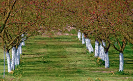 Flourishing apricot trees Stock Photo