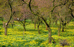 Flourishing apricot trees #2. Orchard in spring with flourishing apricot trees, Wachau, Danube valley, Lower Austria Stock Photo