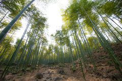 Flourishing bamboo forest Stock Photography