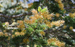 Flourishing branch of a spruce Stock Images