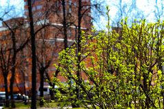 Flourishing bush in a park. During the Spring break in Moscow royalty free stock photos