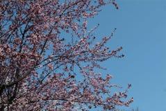 Flourishing cherry. Pink cherry flowers. Flourishing cherry. Pink cherry flowers on a background of blue sky. Park of Japanese Sakura in Amstelveen, Netherlands royalty free stock photos