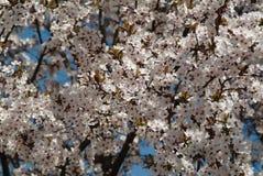 Flourishing cherry. White cherry flowers. Flourishing cherry. White cherry flowers on a background of blue sky. Park of Japanese Sakura in Amstelveen stock images