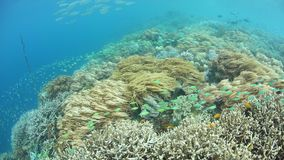 Flourishing Coral Reef in Raja Ampat. Colorful fish swim above a flourishing coral reef in Raja Ampat, Indonesia. This remote, tropical region is famous for its stock video
