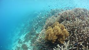 Beautiful Corals and Fish in Raja Ampat, Indonesia. A flourishing coral reef thrives in Raja Ampat, Indonesia. This unique, equatorial region is best known for stock video footage