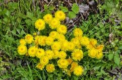Flourishing yellow dandelions. Cluster of yellow flourishing dandelions on forest ground in spring stock images