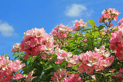 Flourishing dog rose Stock Photography