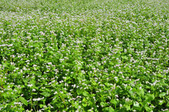 Flourishing field of buckwheat royalty free stock photos